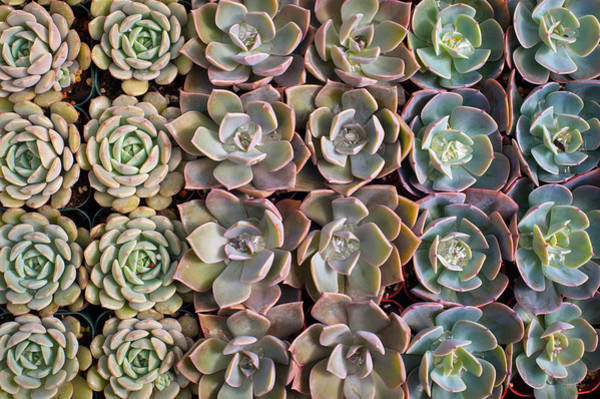 Wall Art - Photograph - Rows Of Succulents  by Catherine Lau