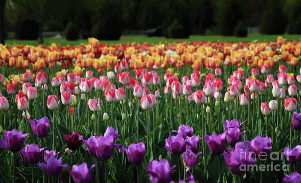 Holland Mi Wall Art - Photograph - Rows Of Tulips by Rachel Cohen