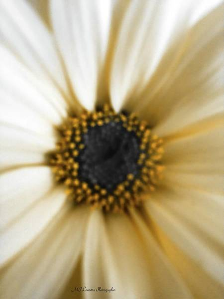 Photograph - Royal Daisy by Marian Palucci-Lonzetta
