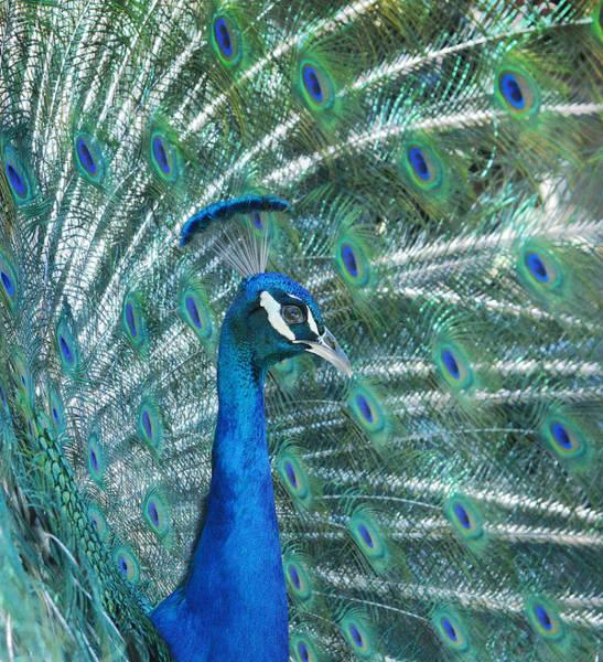 Photograph - Royal Fowl 13 by Fraida Gutovich
