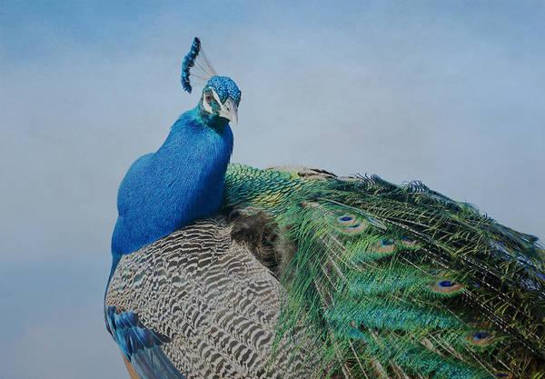 Photograph - Royal Fowl 15 by Fraida Gutovich