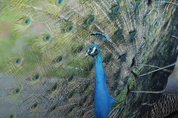 Photograph - Royal Fowl 16 by Fraida Gutovich