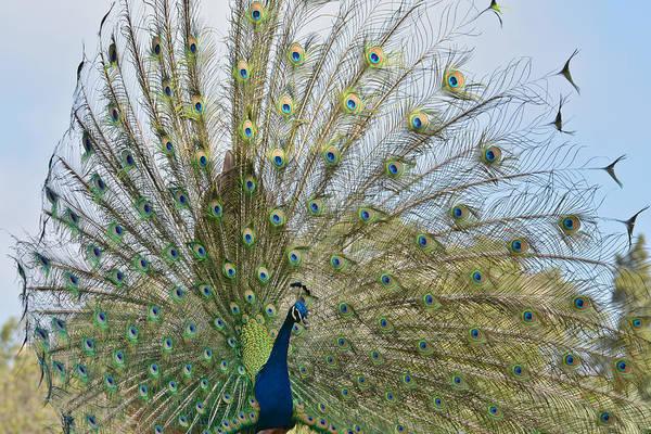 Photograph - Royal Fowl 21 by Fraida Gutovich