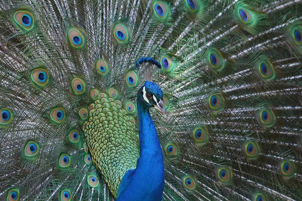 Photograph - Royal Fowl 3 by Fraida Gutovich