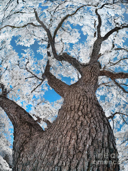 Royal Oak Photograph - Royal Live Oak In Infrared by Norman Gabitzsch