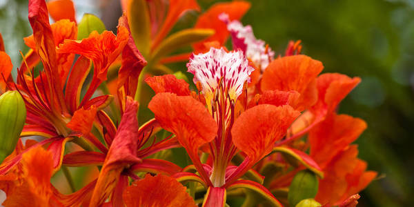 Photograph - Royal Poinciana by Ed Gleichman