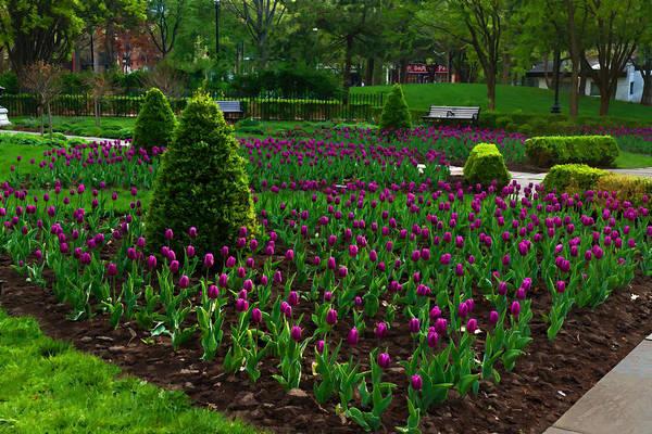 Digital Art - Royal Purple Tulips by Georgia Mizuleva