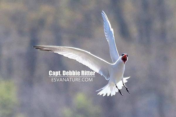 Photograph - Royal Tern 1574 by Captain Debbie Ritter