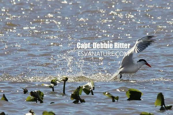 Photograph - Royal Tern 2008 by Captain Debbie Ritter