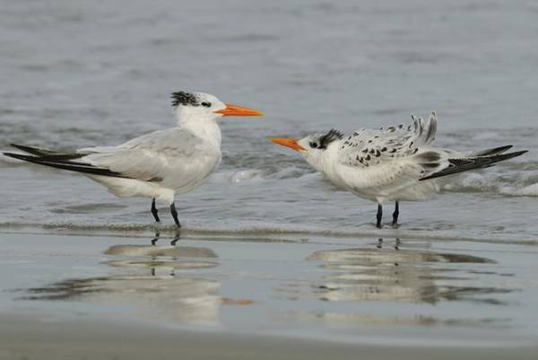 Photograph - Royal Tern Adult And Juvenile by Bradford Martin