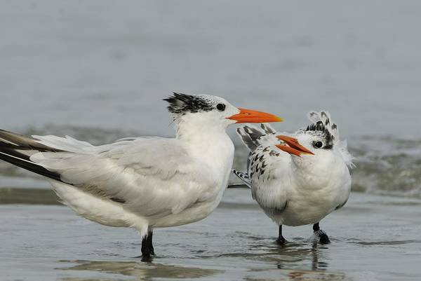 Photograph - Royal Tern Adult And Young by Bradford Martin