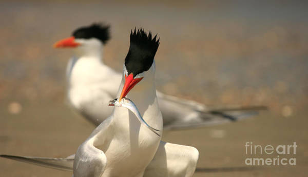 Royal Tern Catch Art Print