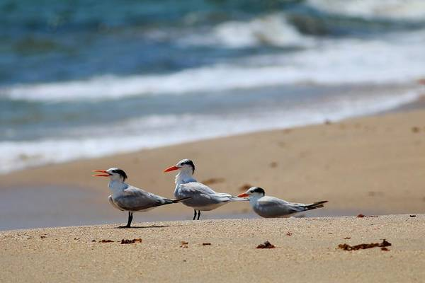 Photograph - Royal Terns Hangout by Carol Montoya