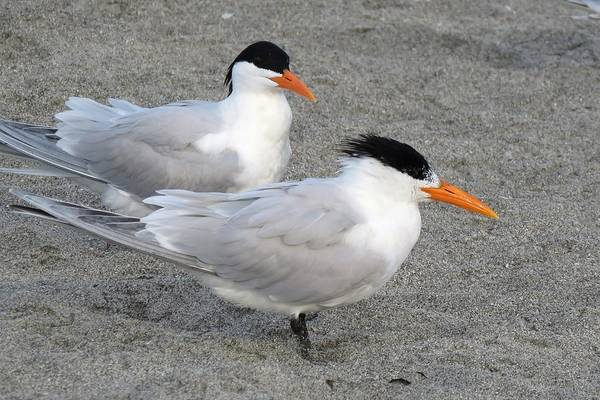 Photograph - Royal Terns by Keith Stokes