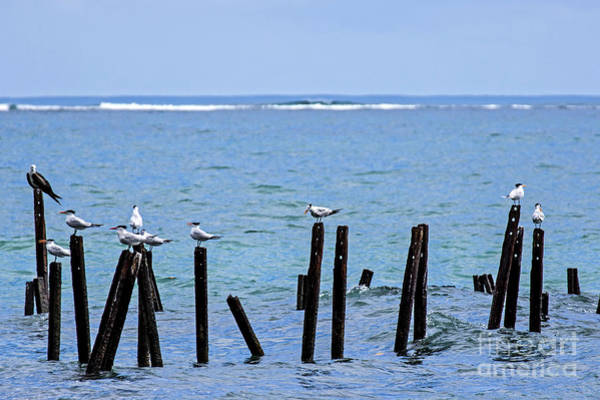 Cahuita Photograph - Royal Terns Perched On Pillars by Ulysse Pixel