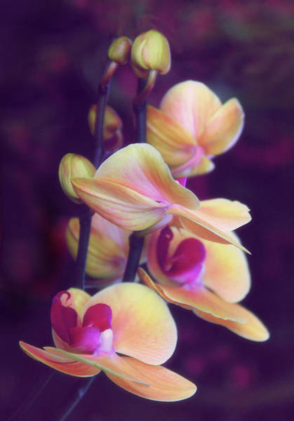 Photograph - The Elegant Orchid by Jessica Jenney