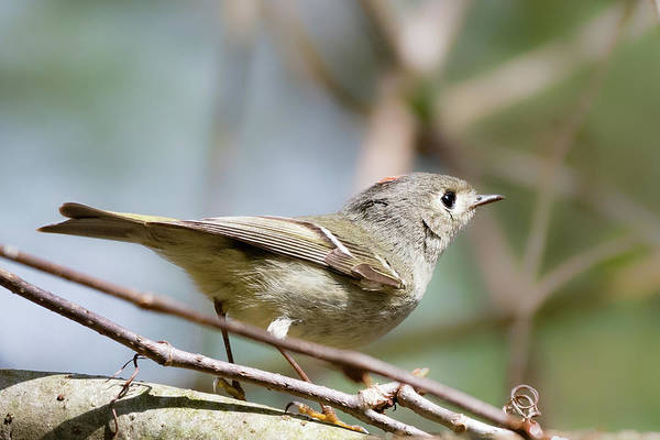 Photograph - Ruby Crowned Kinglet by Bill Wakeley