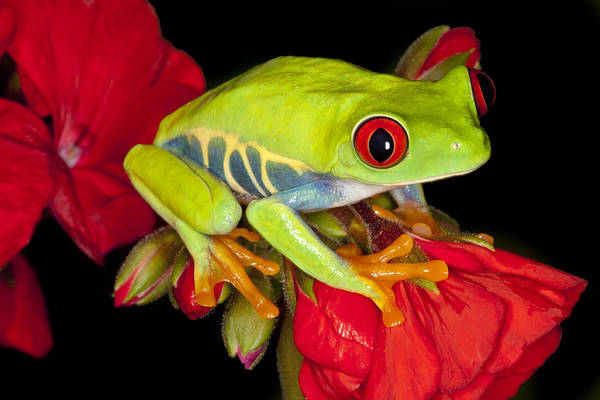 Poison Dart Frog Photograph - Ruby Red by Janet Fikar