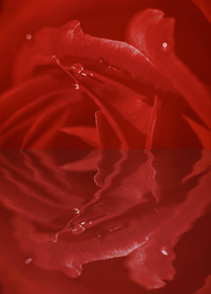 Passionate Photograph - Ruby Red Reflections by Lisa Knechtel
