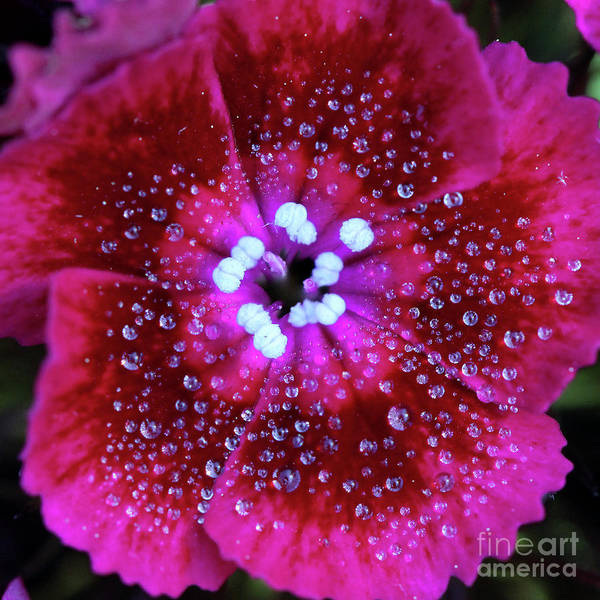 Photograph - Ruby Red Sweet William Flower Square by Karen Adams