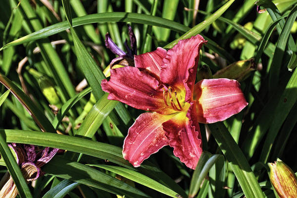 Spider Lily Wall Art - Photograph - Ruby Spider Daylily by John Trommer