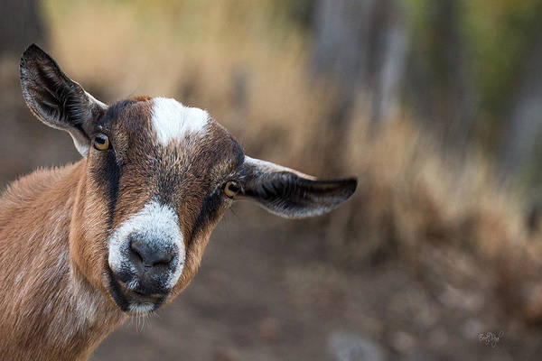 Goats Photograph - Ruby The Goat by Everet Regal