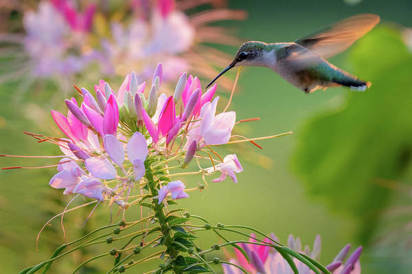 Photograph - Ruby Throated Hummingbird 2 by Bill Wakeley