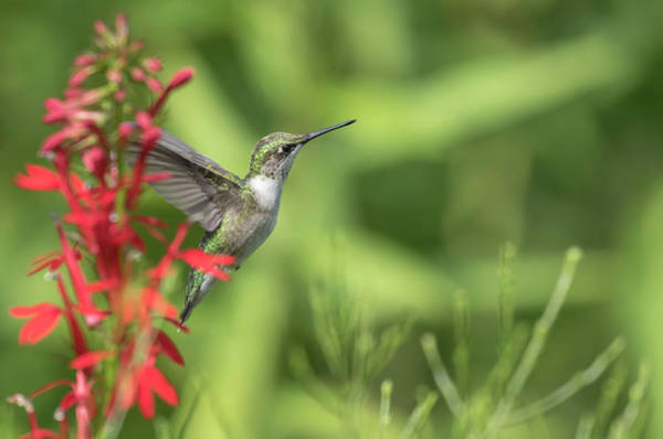 Wall Art - Photograph - Ruby Throated Hummingbird 2017-4 by Thomas Young