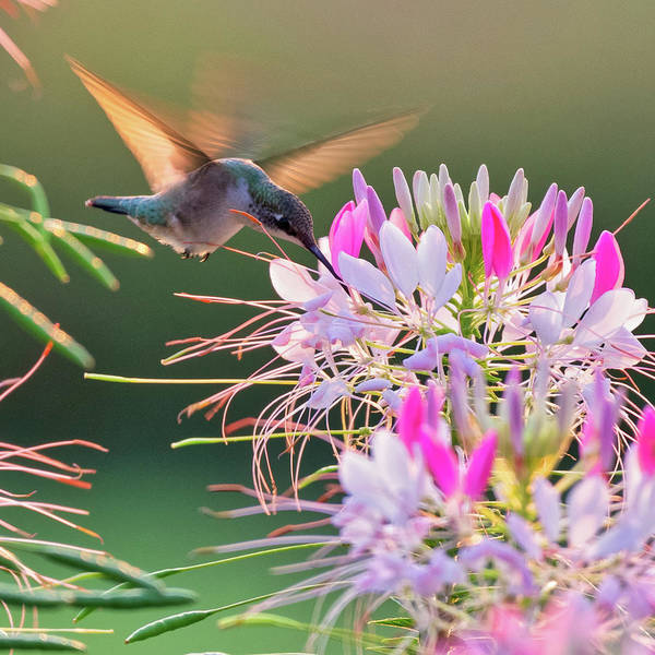 Photograph - Ruby Throated Hummingbird 4 Square by Bill Wakeley