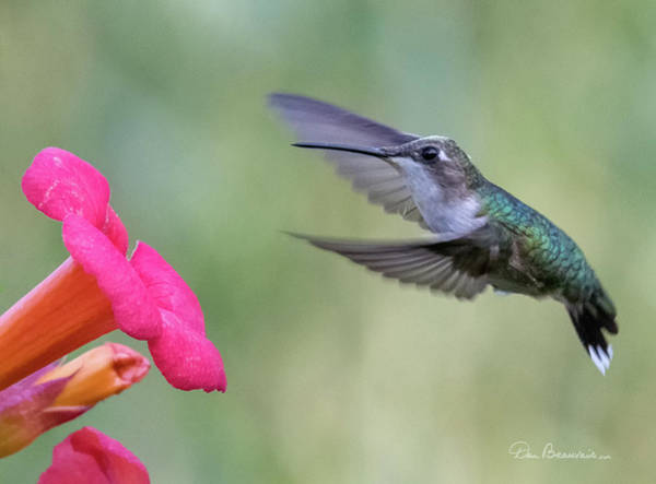Photograph - Ruby-throated Hummingbird 9693 by Dan Beauvais