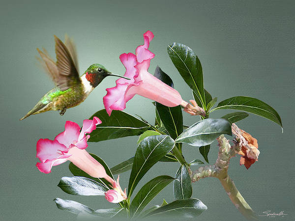 Wall Art - Digital Art - Ruby-throated Hummingbird And Desert Rose by M Spadecaller