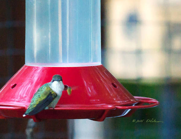 Photograph - Ruby-throated Hummingbird At Feeder by Edward Peterson