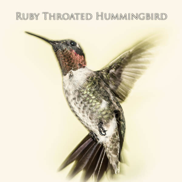 Digital Art - Ruby Throated Hummingbird by Barry Jones