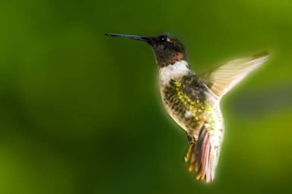 Photograph - Ruby-throated Hummingbird In Flight by Barry Jones