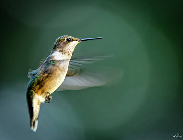 Photograph - Ruby-throated Hummingbird In Flight by Philip Rispin