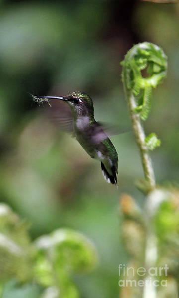 Photograph - Ruby-throated Hummingbird by Jennifer Robin