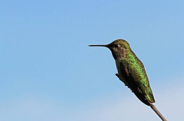 Photograph - Ruby Throated Hummingbird by Juergen Roth