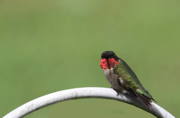 Photograph - Ruby-throated Hummingbird Male 124 by Ericamaxine Price