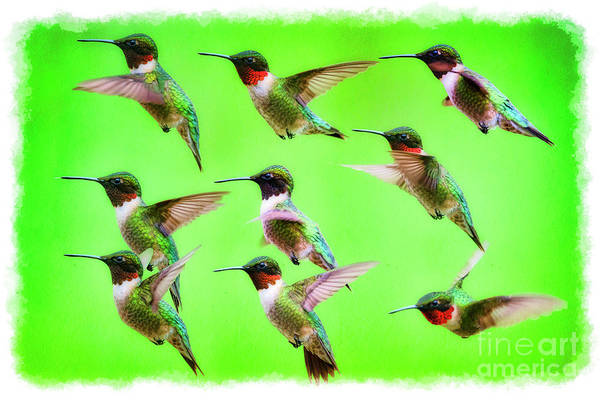 Photograph - Ruby-throated Hummingbird Portraits by Dan Friend