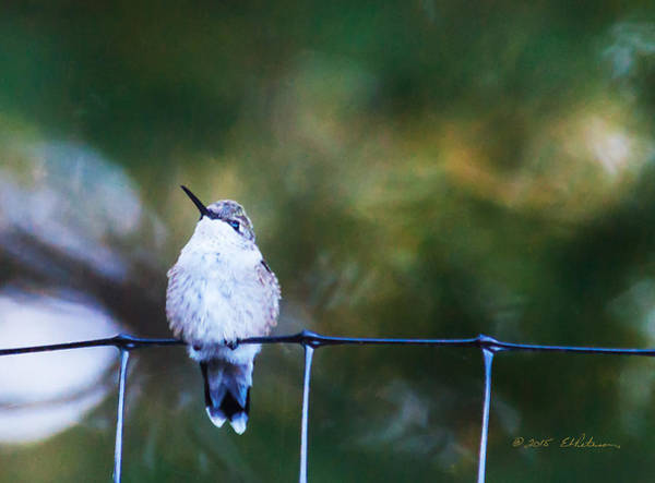 Photograph - Ruby-throated Hummingbird  Staying Warm by Edward Peterson