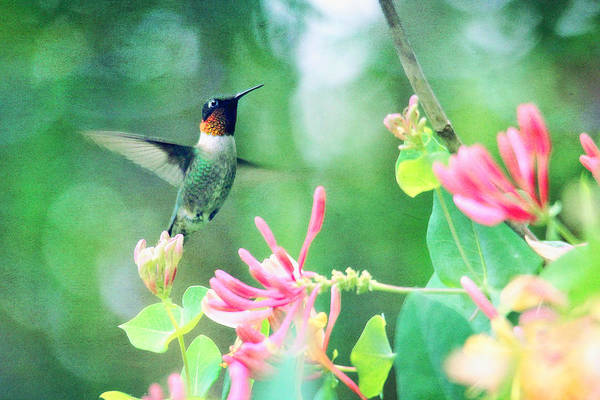 Photograph - Ruby-throated Hummingbird by Trina  Ansel