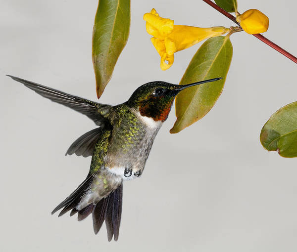 Photograph - Ruby-throated Hummingbird With Jasmine by Lara Ellis