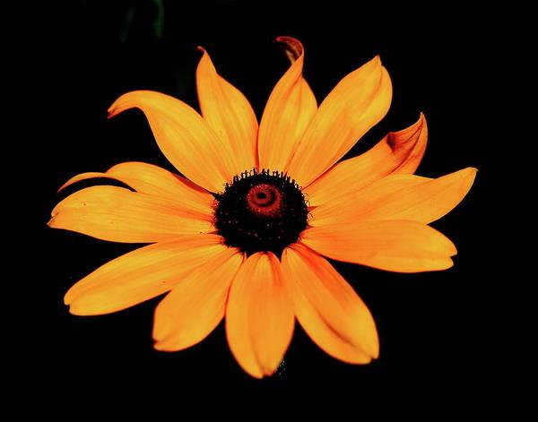 Photograph - Rudbeckia Hirta by Allen Nice-Webb