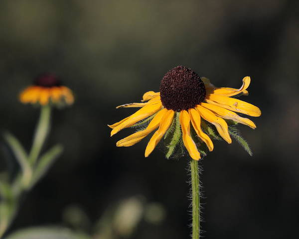 Photograph - Rudbeckia Hirta by John Moyer