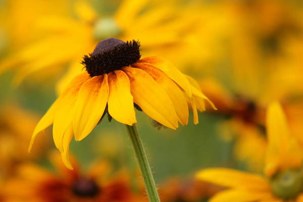 Wall Art - Photograph - Rudbeckia In A Cloche Hat by Barbara  White