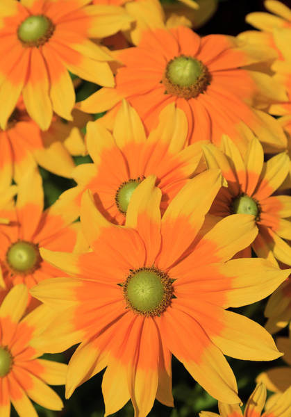 Photograph - Rudbeckia by Jill Lang