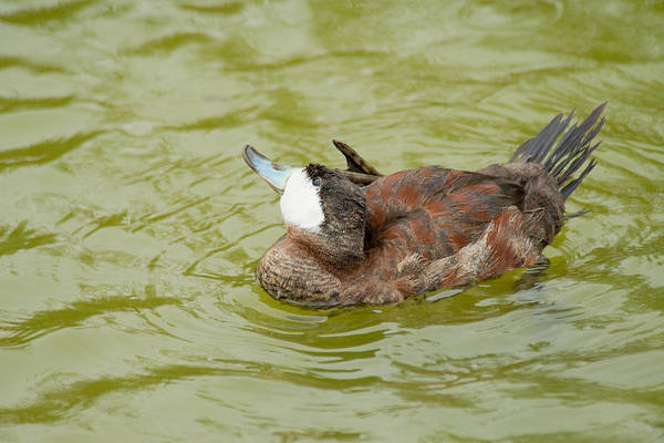 Photograph - Ruddy Duck Grooming by Frank Madia