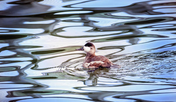 Photograph - Ruddy Duck Swiimming In A Pond With Autumn Reflections by Patrick Wolf
