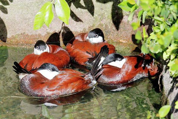Nfs Photograph - Ruddy Ducks Huddle by Daniel Caracappa