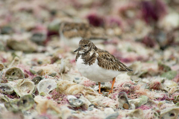 Photograph - Ruddy Turnstone Among Beach Debris by Frank Madia